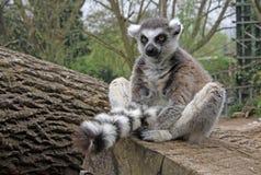 lémur Anneau-coupé la queue dans un zoo Photographie stock libre de droits
