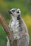 lémur Anneau-coupé la queue dans un zoo Photos libres de droits