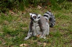 lémur Anneau-coupé la queue en captivité image stock