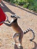 lémur Anneau-coupé la queue marquant un repas Photos stock