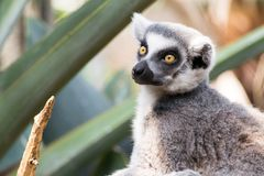 Lémur anneau-coupé la queue par alerte photographie stock