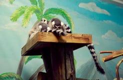 Lémur anneau-coupé la queue par sommeil Photos stock