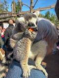lémur Anneau-coupé la queue se reposant sur l'épaule d'une femme plus âgée tout en mangeant un morceau de carotte, au parc Pairi  images libres de droits