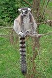 lémur Anneau-coupé la queue se reposant sur une corde dans un zoo Photos libres de droits