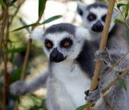 lémur Anneau-coupé la queue sur l'arbre et la montre quelque chose, image de srgb images libres de droits