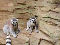 lémur Anneau-coupé la queue sur la roche Images libres de droits