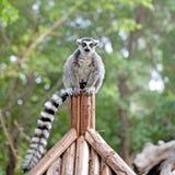 lémur Anneau-coupé la queue sur le pilier Images stock