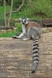 lémur Anneau-coupé la queue sur un arbre dans un zoo Photographie stock libre de droits