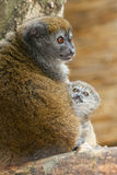 Lémur apacible de Alaotra de la laca Imágenes de archivo libres de regalías