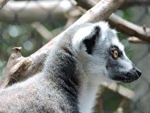 Lémur atado anillado Imagenes de archivo