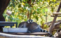 Lémur atado anillo Fotos de archivo libres de regalías