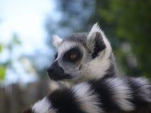 Lémur atado anillo Fotos de archivo