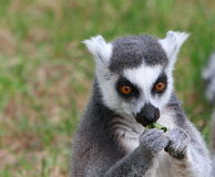 Lémur atado anillo Fotografía de archivo libre de regalías