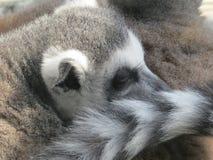 Lémur atado anillo Imagenes de archivo
