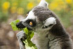 Lémur atado anillo Fotografía de archivo