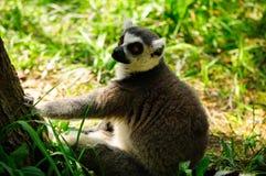 Lémur atado anillo Foto de archivo libre de regalías