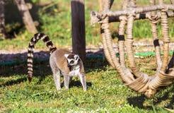 Lémur atado anillo Imagen de archivo libre de regalías