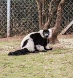 Lémur blanco y negro ceñido Foto de archivo