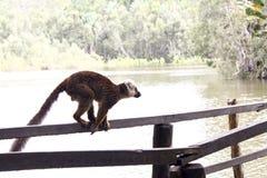 lémur brun Blanc-affronté (albifrons de fulvus d'Eulemur) Images stock