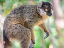 Lémur brun ollared par ¡ de Ð image libre de droits