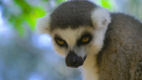 Lémur cercano para arriba en Madagascar metrajes