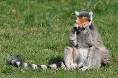 Lémur con una hoja Fotografía de archivo