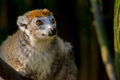 Lémur coronado que mira en la distancia fotos de archivo