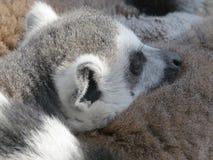 Lémur coupé la queue par anneau Image stock