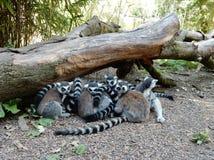 Lémur coupé la queue par anneau Images stock