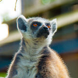 Lémur coupé la queue par anneau Photo libre de droits