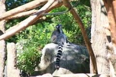 Lémur coupé la queue par anneau Image libre de droits