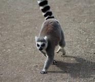 Lémur coupé la queue par anneau Photo stock