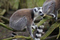 Lémur coupé la queue par anneau Photographie stock
