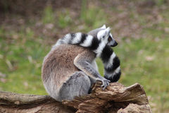Lémur coupé la queue par anneau Photos libres de droits
