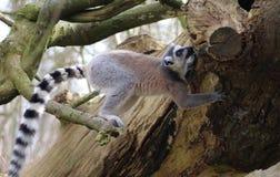 Lémur coupé la queue par anneau dans l'arbre Image libre de droits