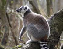 Lémur coupé la queue par anneau dans l'arbre Photographie stock libre de droits