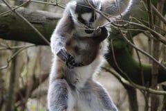 Lémur coupé la queue par anneau dans l'arbre Images stock