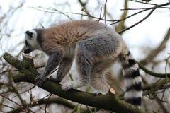 Lémur coupé la queue par anneau dans l'arbre Photo stock