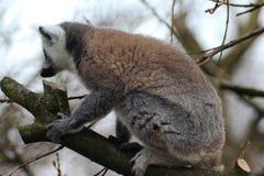 Lémur coupé la queue par anneau dans l'arbre Photos stock