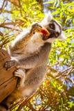 Lémur coupé la queue par anneau mangeant du fruit Image stock