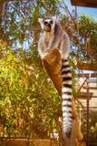 Lémur coupé la queue par anneau mangeant du fruit Images libres de droits