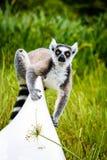 Lémur coupé la queue par anneau sur le kayak au Madagascar Image stock