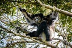 Lémur d'Indri accrochant dans la voûte nous regardant Image stock