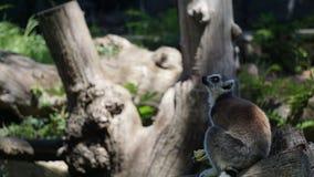 Lémur dans un zoo de ville photos stock