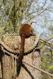 Lémur de bambú de oro - Hapalemur aurífero Imagenes de archivo