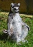 Lémur de la yoga Imágenes de archivo libres de regalías