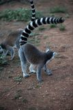 Lémur de Madagascar imagen de archivo