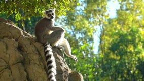 Lémur de Madagascar que se sienta en un de piedra y una reclinación metrajes