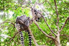 Lémur de queue d'anneau Photo libre de droits