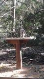 Lémur de Ringtail image stock